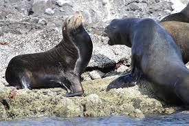 scolding--seals