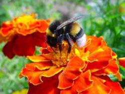 bumble bee on orange flower