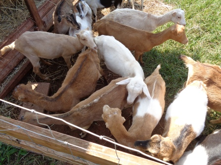 Goat gaggle--hoping to handouts