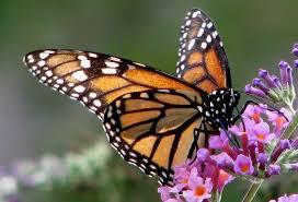 moarchs hovering over milkweed