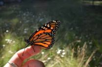 Monarch on a fingers