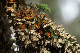 Monarchs flapping their wings