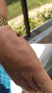 ladybug on Bob's hand II
