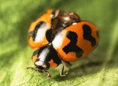 ladybug orange