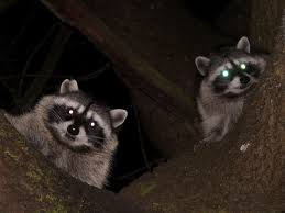 raccoons with yellow eyes