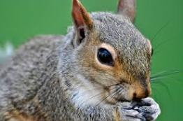squirrel with nut2