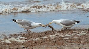 seagulls fighting.jpg