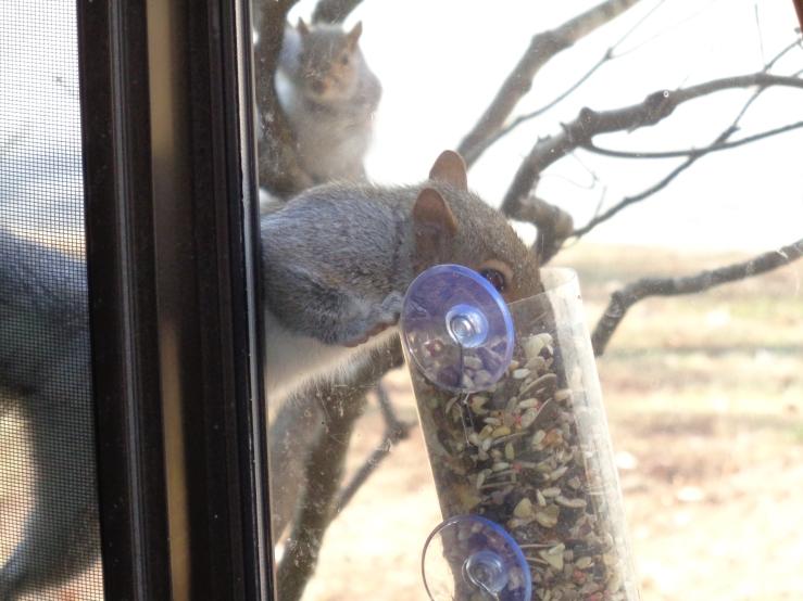 Squirrel feeding from second feeder