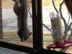 Squirrel hanging upside down next to second feeder.
