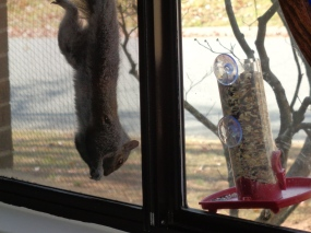 Squirrel hanging upside down next to second feeder.