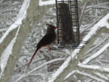 Cardinal feeding during the snow storm