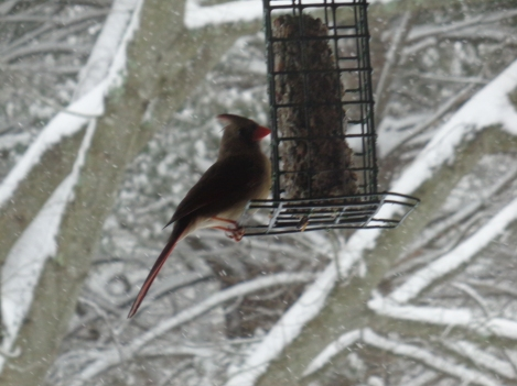 Cardinal feeding during the snow storm