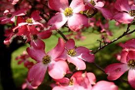 dogwood petals pink