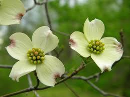 Dogwood petals white