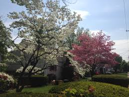 dogwoods pink and white