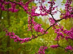 judas tree blossoms