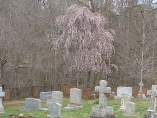 Weeping cherry on Easter at churchyard