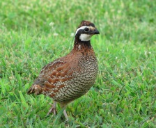 Northern-bob-white-quail-tn1