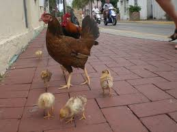 key west chicken family