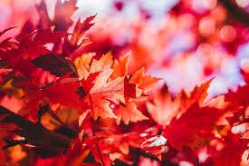 leaf-maple
