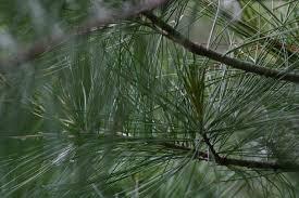 leaf--pine needle