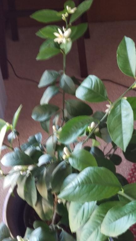 lemon tree in bloom 20190115