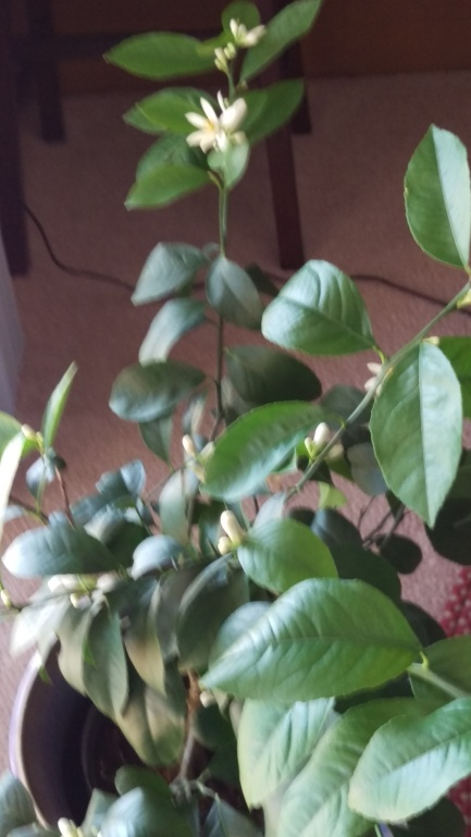 lemon tree in bloom 20190115