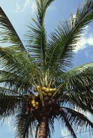 Palm coconut