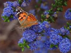 butterly on a blue flower