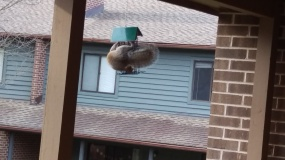 Squirrel eating in the wrapped position