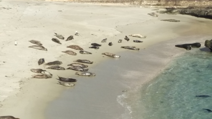 Harbor Seals laying on Children's Beach in La Jolla, CA