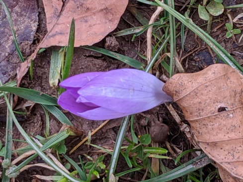 Crocus and oak leaeves--Jan 2020