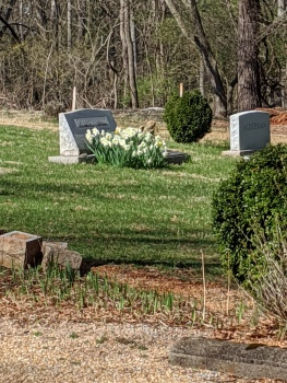 graveyard with white daffodils on the grave