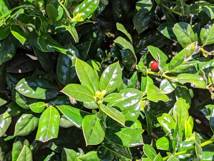 Holly bush with berry and flower