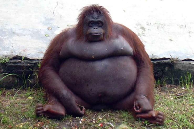 covid 19--fat ape