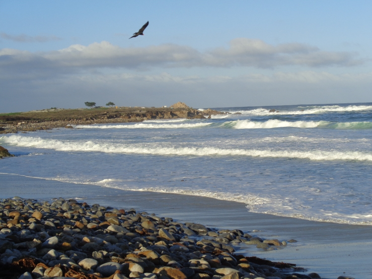Bird soaring over Pebble Beach