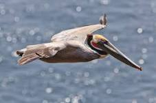California Brown Pelican