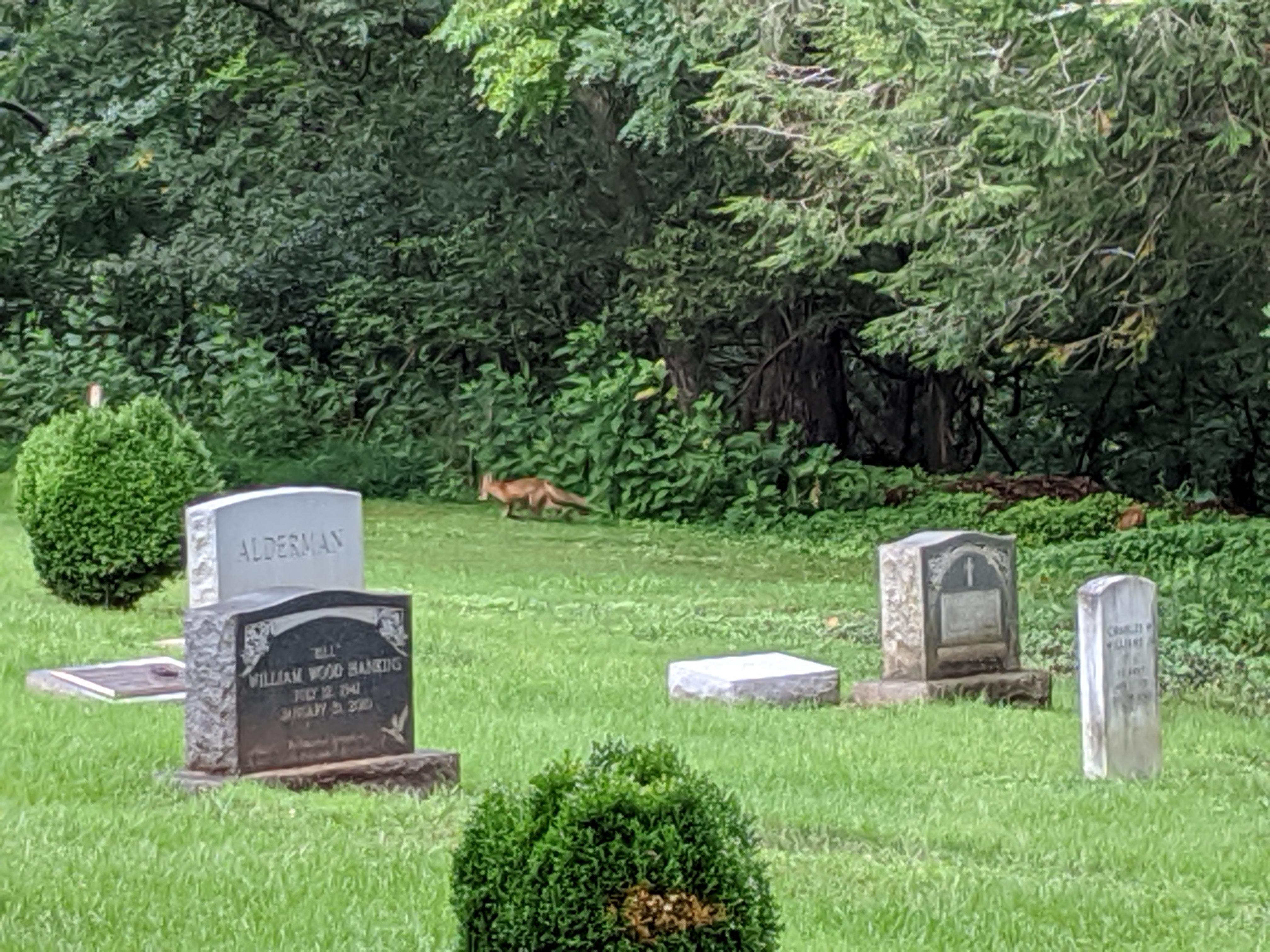 fox in the churchyard