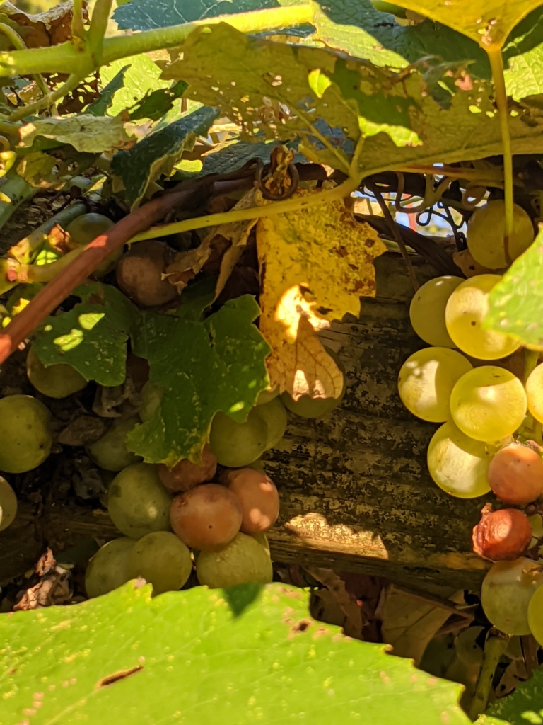 This image has an empty alt attribute; its file name is hanging-grapes.jpg